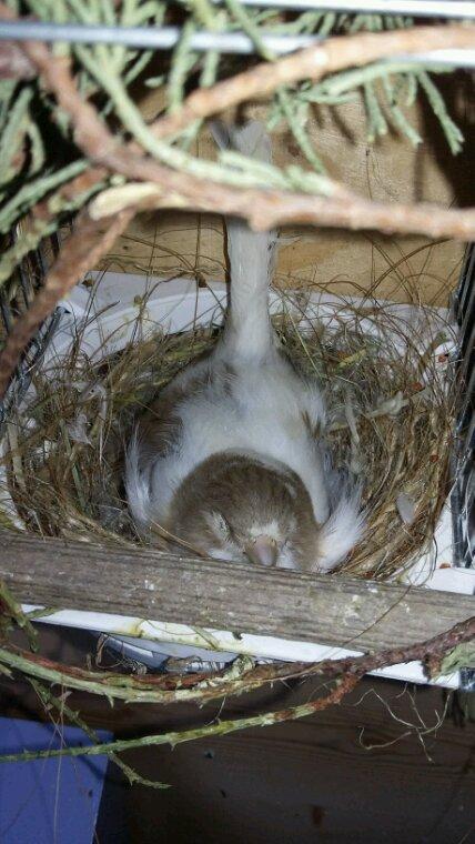 Dcd sur le nid