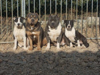 Bbb blocos / Bbb notorious ( american bully ):  guess Gdp et gucci Gdp (am staff )