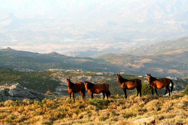 Races : Cheval Corse