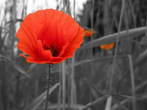 Les coquelicots !!!! Une série de photos prise sur le net !!! J'aime beaucoup cette fleur !!!