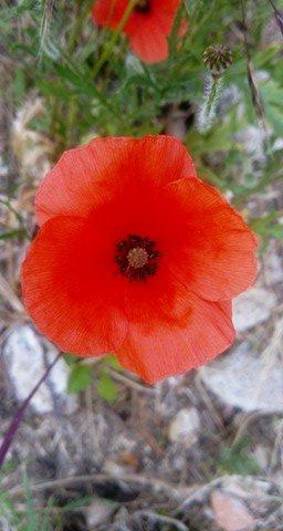 Le coquelicot, c'est ma fleur sauvage préférée, j adore, photos prise par ma fille !!! (l)