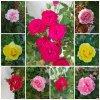 Ces roses de jardin sont pour moi les plus précieuses par leur symbole (l) !!!
