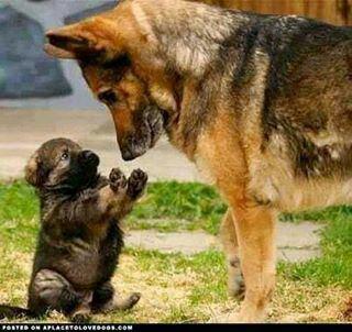 Voilà deux races de chiens que je rêverai bien d'avoir un jour.