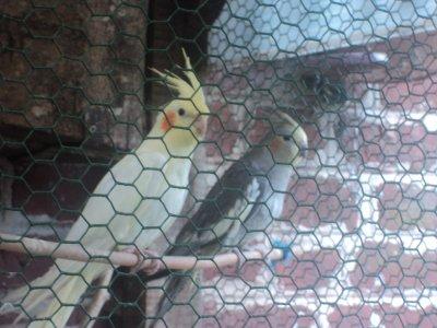voici les oiseaux de l'oncle a ma mere !
