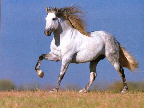 Le cheval Pur Race Espagnol.