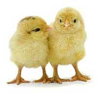 Kycklingdansen