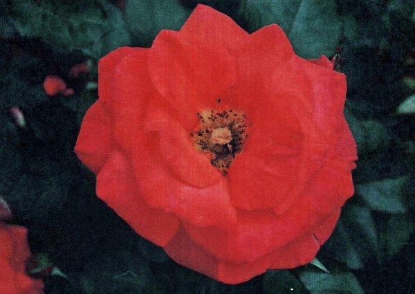 """Floribunda """" Mireille Mathieu """""""