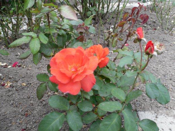 Unsere Rose   Mireille Mathieu