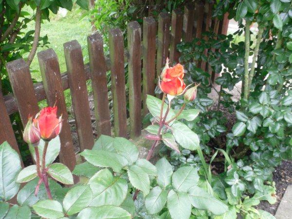 "Rose  ""Mireille Mathieu"" blüht / Wochenendgrüße"
