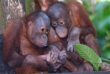 Parrainer un orang-outang, aider une association de sauvegarde ou se porter éco-volontaire