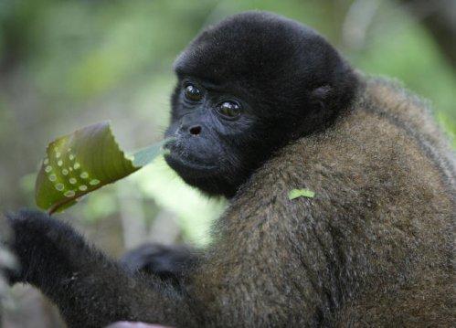 Parrainer un singe laineux, aider une association de sauvegarde ou se porter éco-volontaire