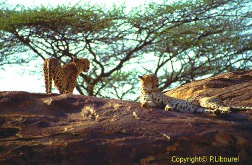 Parrainer un guépard, aider une association de sauvegarde ou se porter éco-volontaire