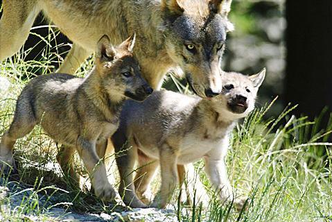 Les P'tits Loups de l'AMC en Cavale !!!