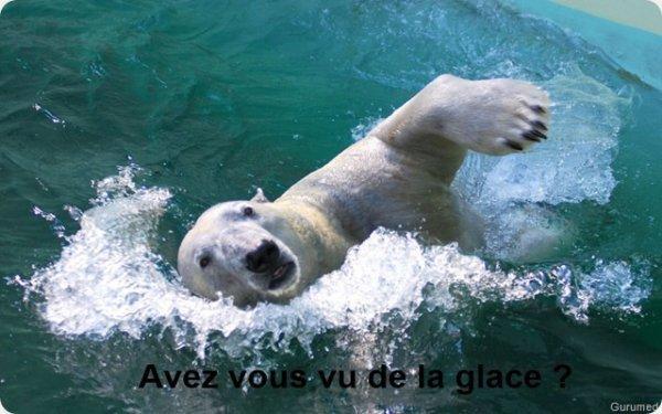 Un ours à la nage