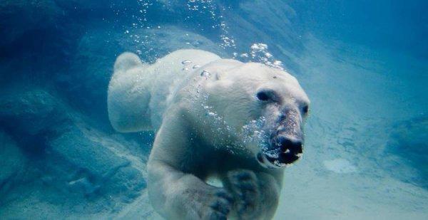Un ours sous l'eau