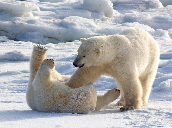 Des ours qui jouent