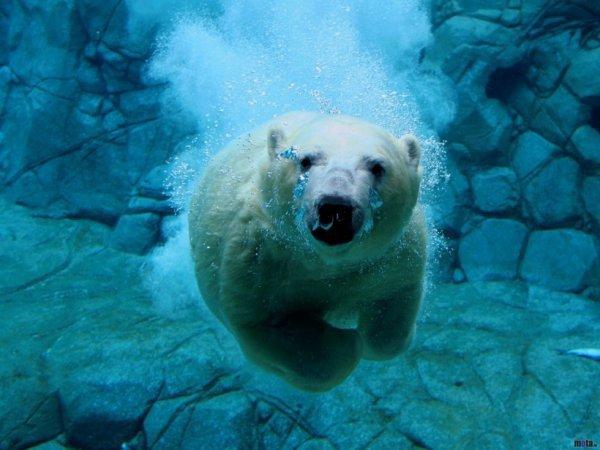 Un autre ours sous l'eau