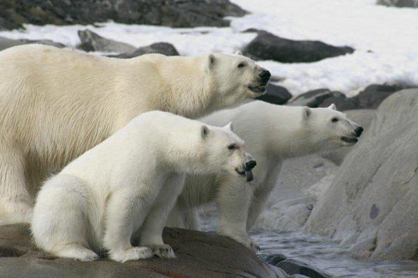 Trois ours dont un qui te tire la 8-p