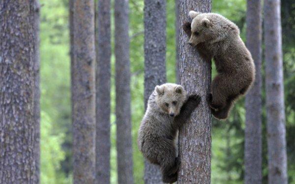 Des oursons grimpent à l'arbre