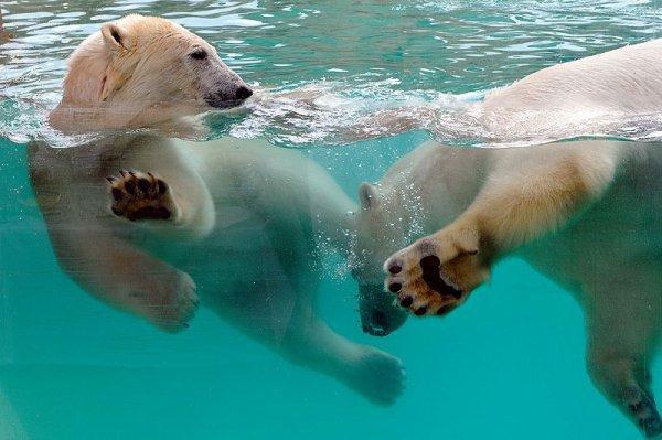 Deux ours qui se baignent^^