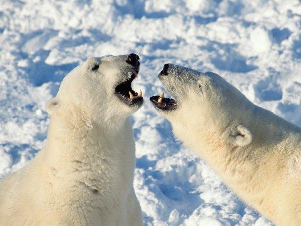 Deux ours se regardent dans les yeux^^