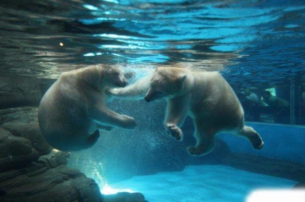 Deux ours sous-l'eau