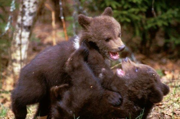 Deux oursons qui se chamaillent mais tout à fait gentiment^^