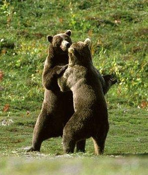 Grizzli d'Alaska