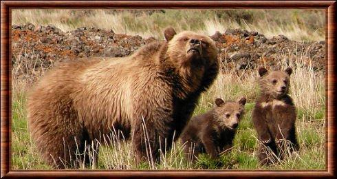 Grizzli en famille