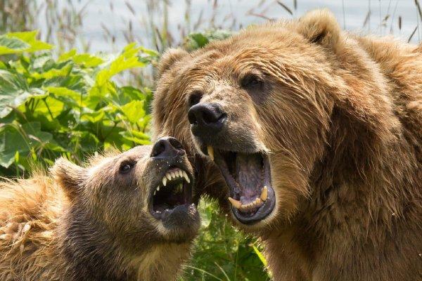 Une famille d'ours Kodiak^^
