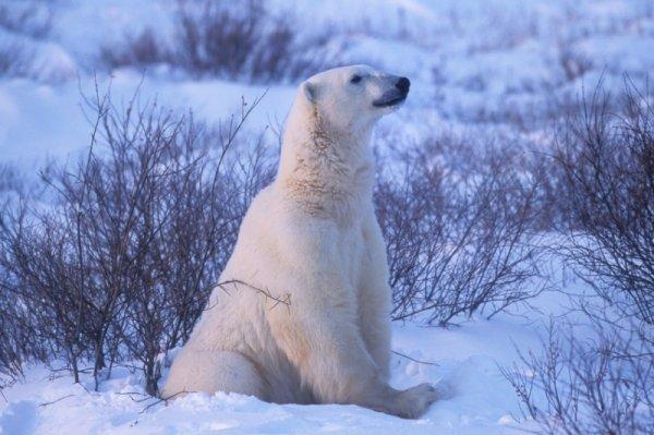 """Il faut sauver l'ours """"Bravoure"""""""