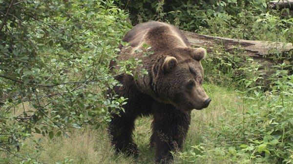 L'Ours brun des Carpates