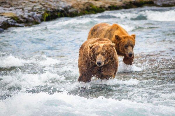 Quand les ours pêchent le saumon! 8-p