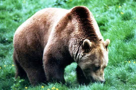 Un brave ours dans la prairie!^^
