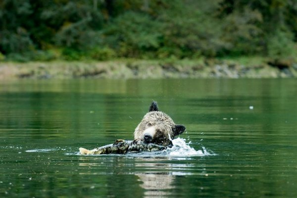 Le gouvernement de la Colombie-Britannique annonce la fin de la chasse de l'ours grizzli!