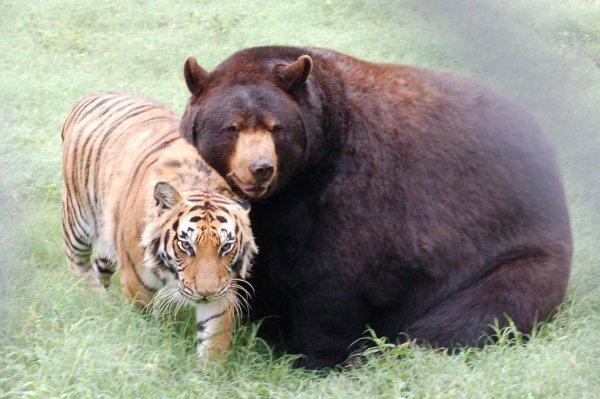 Eh bien oui, je suis ami avec un tigre!^^