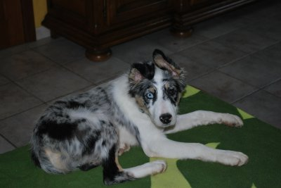 Tania, notre nouveau border collie bleu merle, un amour de chien