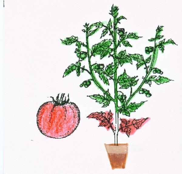 Le bon truc pour re planter un pied de tomate blog de jejardineettoi - Tomate dessin ...
