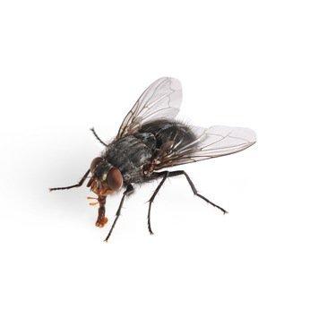 Comment se débarrasser des mouches avec des répulsifs naturels ?