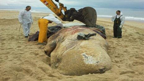 Cap-Ferret (33) : le cachalot inspecté par les scientifiques  Depuis ce mardi matin, les scientifiques inspectent le cachalot retrouvé échoué lundi sur la plage du Cap-Ferret. L'animal a d'abord été déplacé au moyen d'une grue. Il sera découpé pour équarrissage