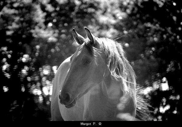 Bientôt le cheval sera sur la terre quelque chose d'aussi étrange que la girafe.  Jules Renard
