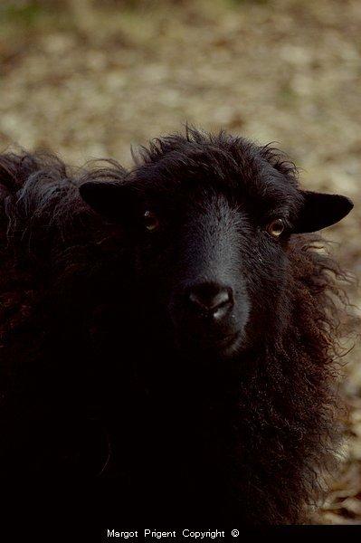 Le mouton paresseux trouve sa laine trop lourde. Proverbe anglais