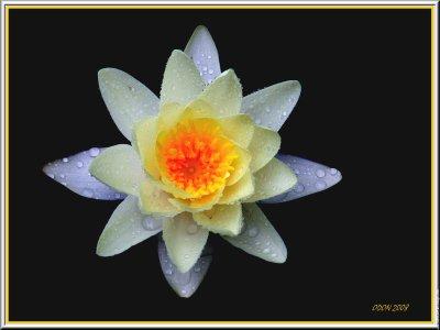 Fleur blanche symbole de la paix