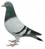 pigeondu59