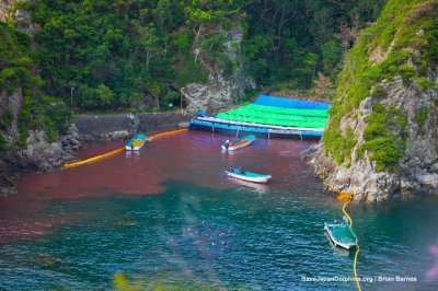 Japon : les pêcheurs de la baie de Taiji renoncent à pêcher à la baleine mais ont repris la chasse aux dauphins...