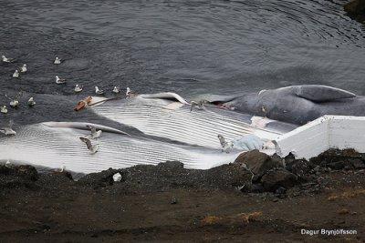 Islande : pause dans la chasse à la baleine...