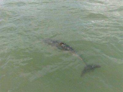 Un jeune dauphin égaré devant Penboc'h reprend le large