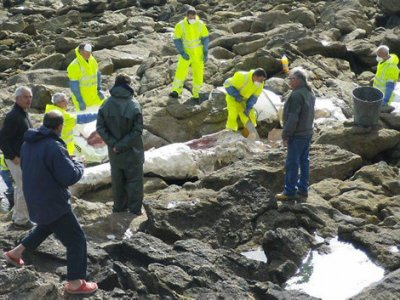 Une baleine échouée, découpée et hélitreuillée