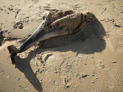 Mers-les-Bains : un nouveau marsouin s'échoue sur la plage...