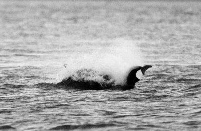 Quand les dauphins frustrés s'en prennent aux marsouins...